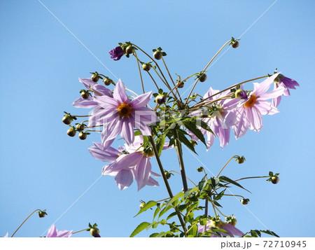 青空にそびえるコウテイダリア桃色の花 72710945