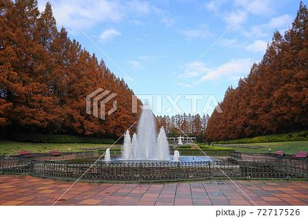 12月 相模原61メタセコイヤ並木の紅葉・神奈川県立相模原公園 72717526