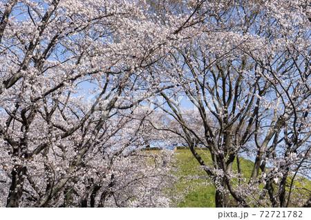 石田堤に咲く桜(ソメイヨシノ)/さきたま古墳公園(埼玉県) 72721782