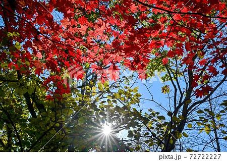 北大研究林で見たカエデの紅葉と光条のコラボ情景@苫小牧、北海道 72722227