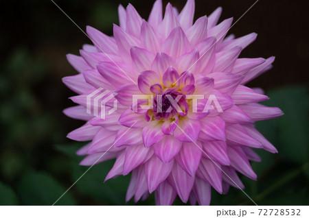 神代植物公園ダリア園のピンクのダリアの花びら 72728532