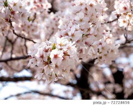 晴れのクローズアップされた桜(縦撮2) 72728656