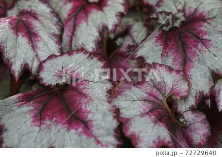 12月 調布766根茎性ベゴニア(レックスベゴニア)のいろいろな葉・シュウカイドウ科・神代植物公園 72729640