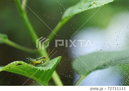 蜘蛛の巣を前に飛ぶか否か悩むバッタ君 72731131
