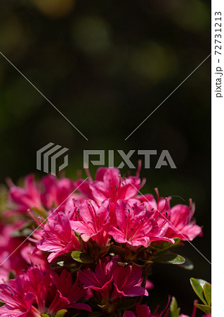 サツキの花のクローズアップと黒い背景 72731213