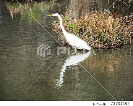 福岡県春日市にある春日公園の池で歩き回るダイサギ 72732507