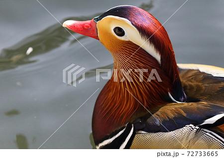 羽は輝いて見えプカプカと泳ぐオシドリ 72733665