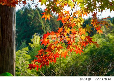 緑を背景を彩る青モミジと紅葉模様 72737038