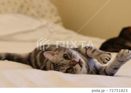 カメラ目線で寝転びながら遊ぶ猫アメリカンショートヘアシルバータビー 72751823
