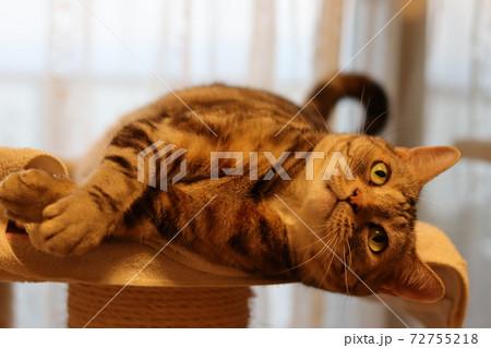 窓辺で寝転んだまま手を出そうとする猫アメリカンショートヘアシルバーパッチドタビー 72755218