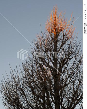 葉を落とした朝日の当たるイチョウの木 72767093