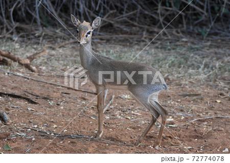 ディクディク(サンブル自然保護区、ケニア) 72774078