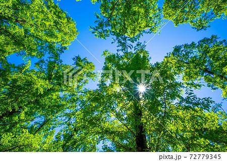 メタセコイアの新緑と光 72779345