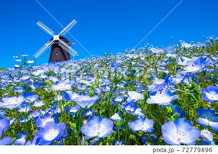 風車とネモフィラの花 72779896