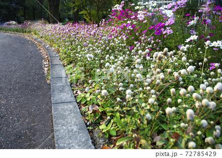美しい色とりどりのセンニチコウの花壇 72785429