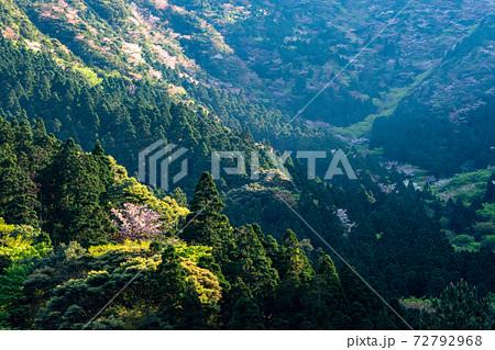 春の斜光に映える屋久島の新緑と山桜。環境・エコのイメージ表現 72792968