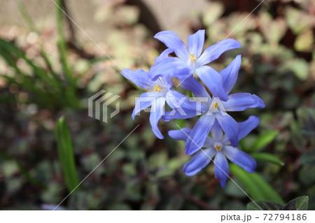 春の半日陰の庭 青いチオノドグサの花 72794186