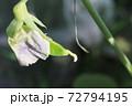 春 家庭菜園のキヌサヤ 花から実へ 72794195