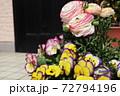 春の寄せ植え ピンクと黄色の複色のビオラと八重咲きのラナンキュラス 72794196