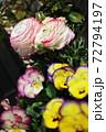 春の寄せ植え ピンクと黄色の複色のビオラと八重咲きのラナンキュラス 72794197