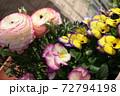 春の寄せ植え ピンクと黄色の複色のビオラと八重咲きのラナンキュラス 72794198