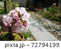 春 小さな桜の鉢植えと庭 72794199