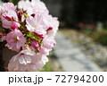 春 小さな桜の鉢植えと庭 72794200
