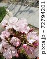 春 小さな桜の鉢植えと庭 72794201