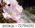 春 小さな桜の鉢植えと庭 72794202