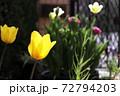 春 黄色いチューリップと庭の門扉 72794203