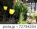 春 黄色いチューリップと庭の門扉 72794204