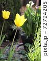 春 黄色いチューリップと庭の門扉 72794205