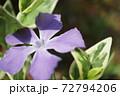 春 斑入り葉のツルニチニチソウの紫の花 72794206