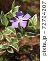 春 斑入り葉のツルニチニチソウの紫の花 72794207
