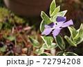 春 斑入り葉のツルニチニチソウの紫の花 72794208