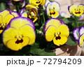 春 黄色と紫のビオラの寄せ植え 72794209