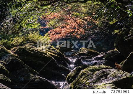 紅葉と木漏れ日に映える屋久島白谷雲水峡 72795961