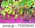 花びらが散った山茶花の木 72830040