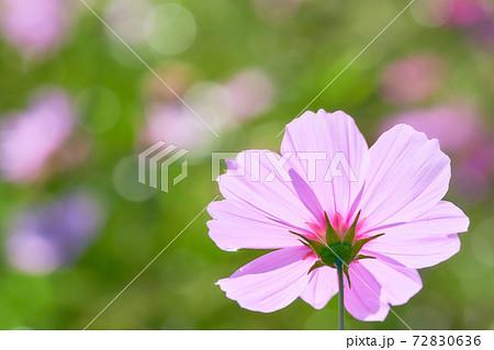 雫の付いたピンク色のコスモスの花びらのアップ 72830636