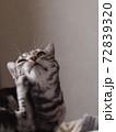 顔を掻く猫 上半身アップ 72839320