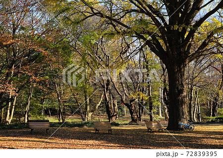 12月 渋谷378代々木公園(イチョウ林)の紅葉 72839395