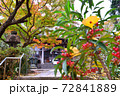 鎌倉古寺のナンテンの木に落ちる黄色いイチョウの葉 72841889