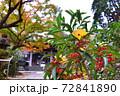 鎌倉古寺のナンテンの木に落ちる黄色いイチョウの葉 72841890