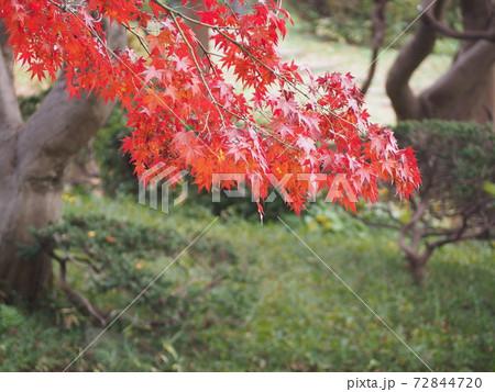 鮮やかに赤く染まったモミジの葉 72844720