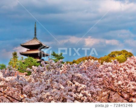 日差しと雲の陰りにまだら模様に浮かぶ御室桜と仁和寺五重塔 72845246