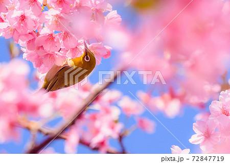 満開の河津桜とメジロ(河津桜まつり) 72847719