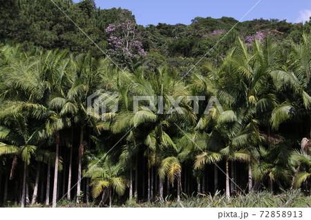 サンパウロ州で栽培されているヤシの木 ブラジル 72858913