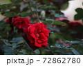 赤いバラの花 72862780