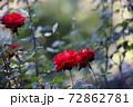 赤いバラの花 72862781
