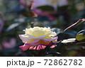 色鮮やかなバラの花 72862782